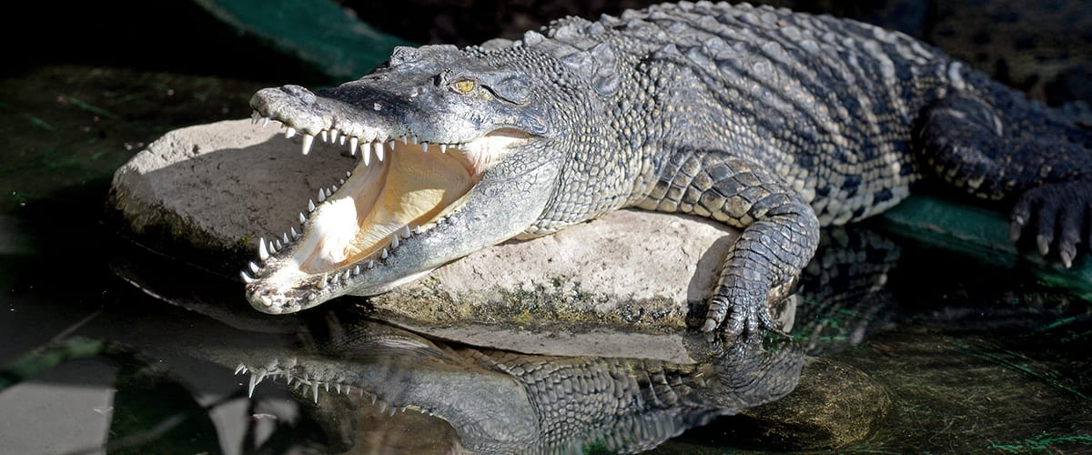 Discover the world of crocodiles…