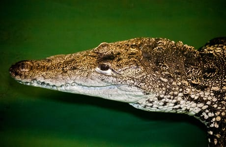 Morelet's Crocodile