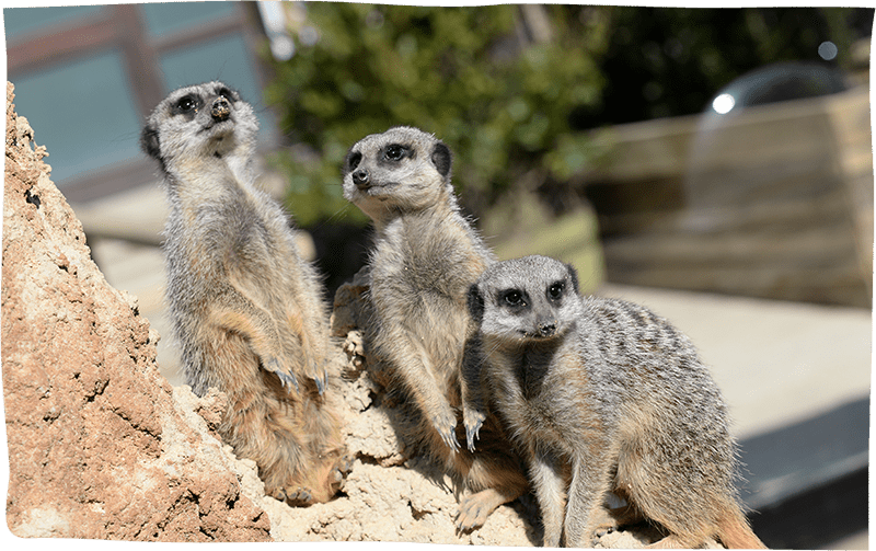 Meet The Meerkats Experience