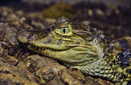 Broad-Snouted Caiman