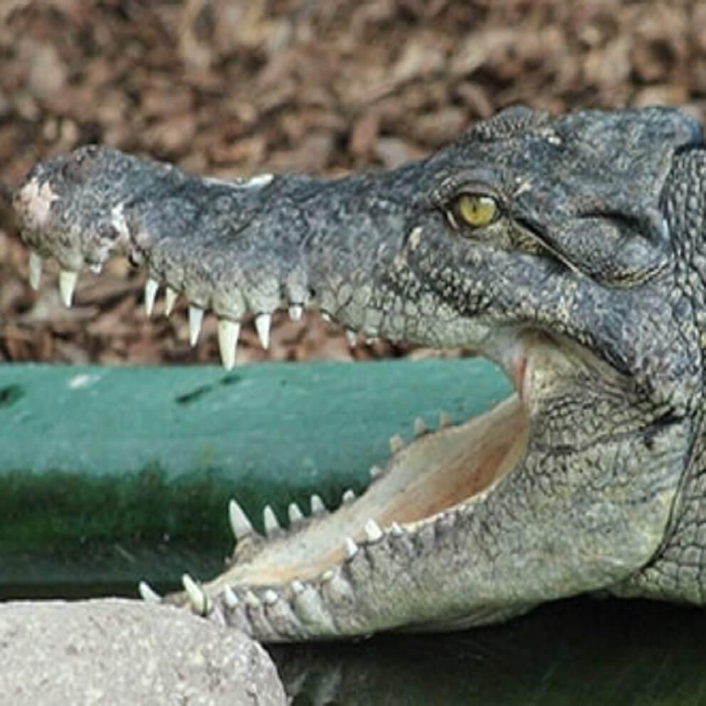 Saltwater Crocodile | Crocodiles Of The World