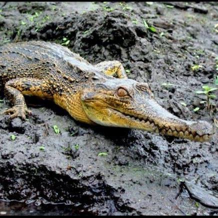 SS croc