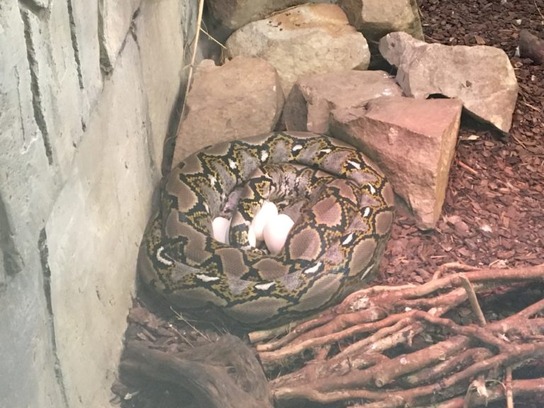Reticulated Python laying eggs