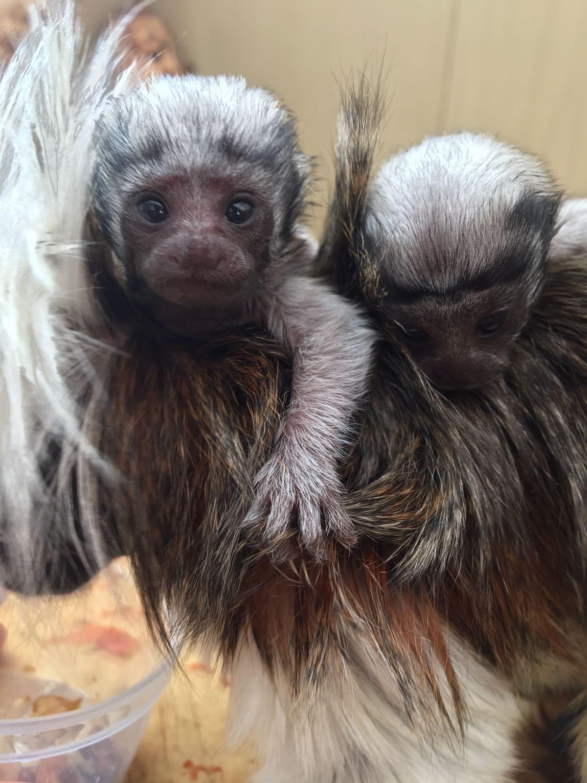 critically endangered baby Tamarin twins   Crocodiles Of The