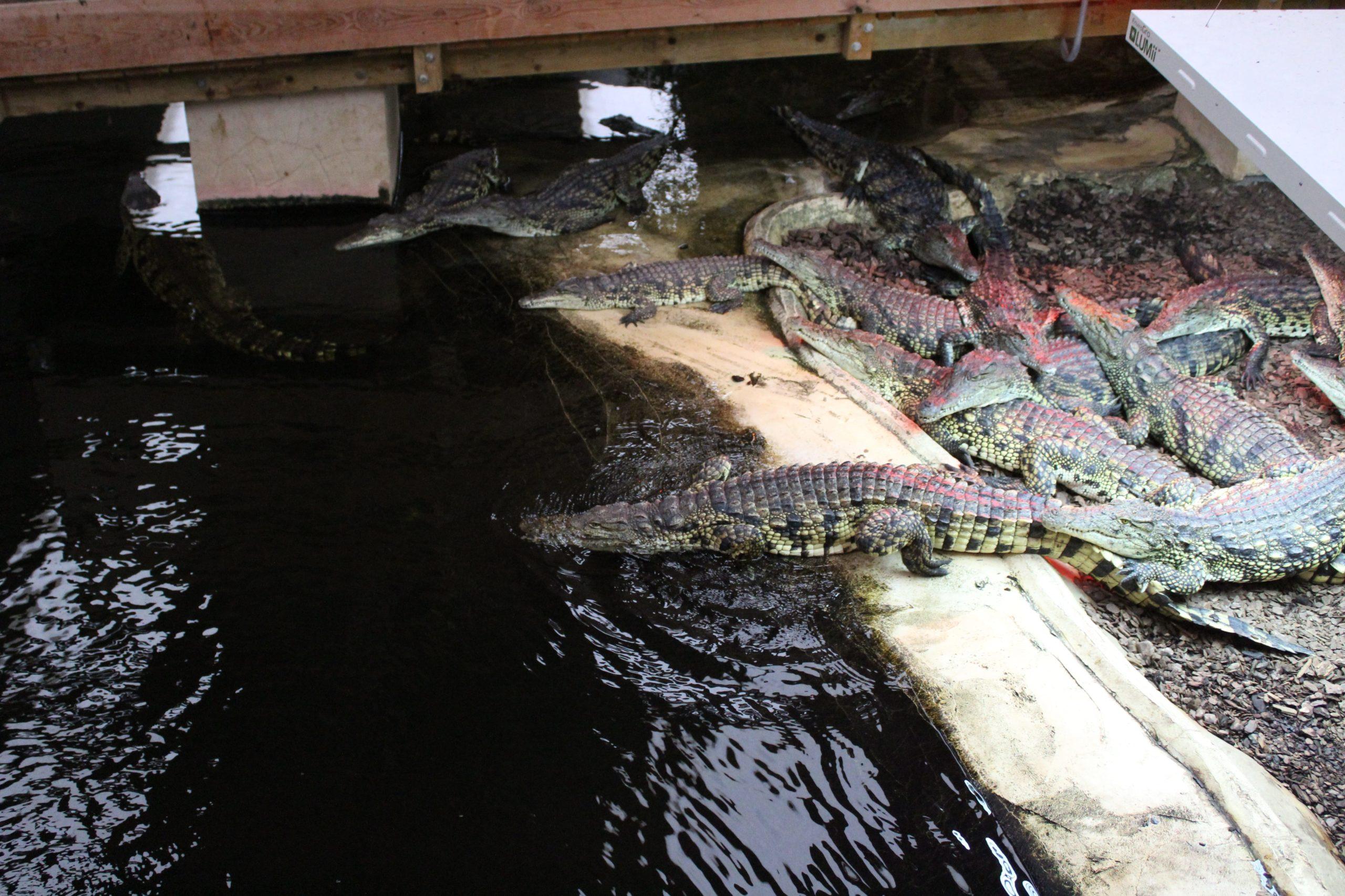 Nile Crocodile Feeding Experience